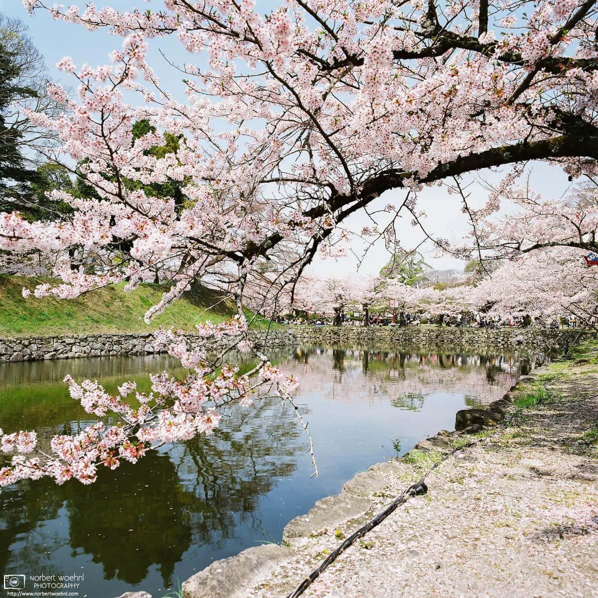 Cherry Blossoms along the Castle Moat, Hikone, Japan Photo