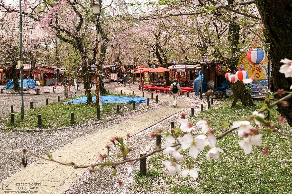 Late Cherry Blossoms, Hirano Jinja, Kyoto, Japan Photo