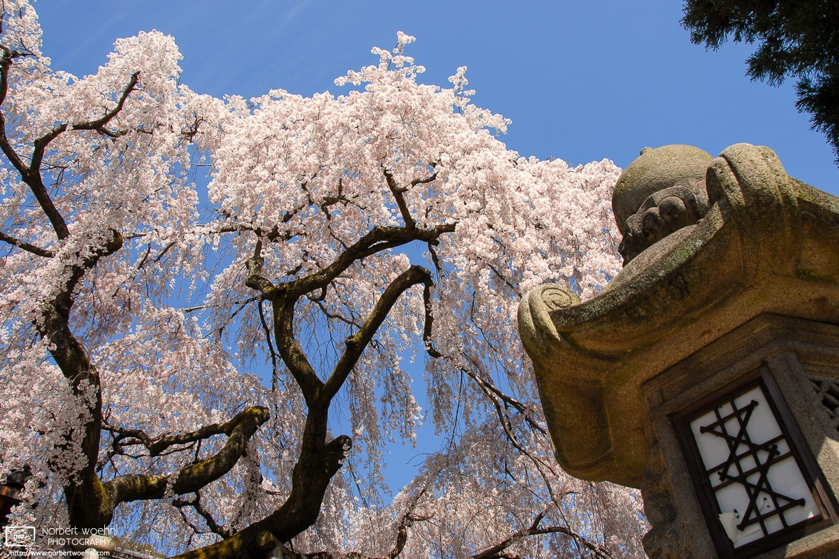 Cherry Blossoms and detail of a stone lantern at Himuro Shrine in Nara, Japan.