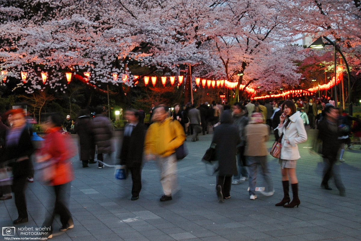Phoning a friend on a Cherry Blossom season evening at Ueno Park in Tokyo, Japan.