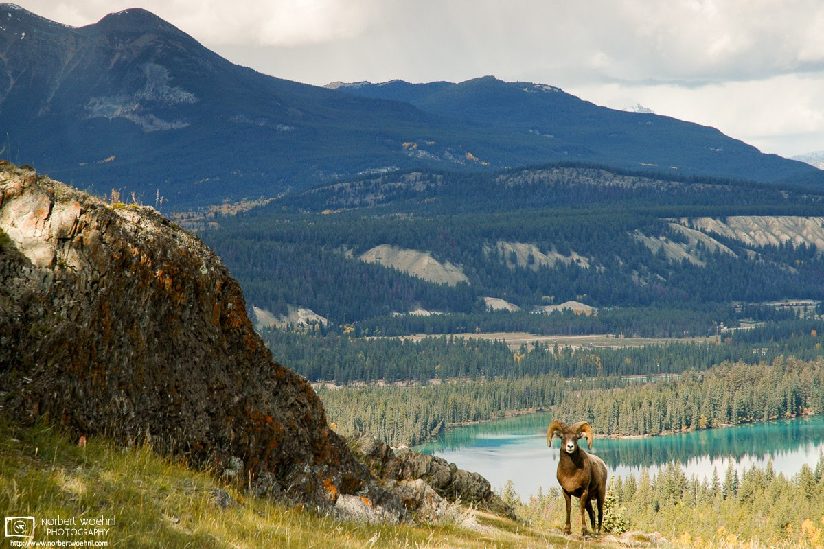 A bighorn sheep is seen amidst alpine scenery along the Old Fort Point trail east of Jasper Townsite in Alberta, Canada.